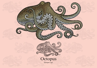 Octopus. Vector illustration with refined details and optimized stroke that allows the image to be used in small sizes (in packaging design, decoration, educational graphics, etc.)