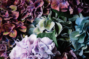 Beautiful colourful, purple, blue, green, blossoming hydrangea flower horizontal texture