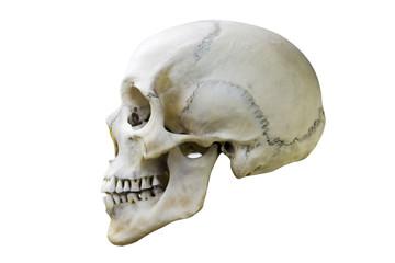 natural white human skull profile. isolated on white background