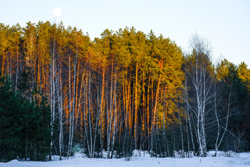 Evening forest in winter with moon on a sky