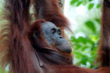 Orangutan in the jungle, Sarawak, Malaysia