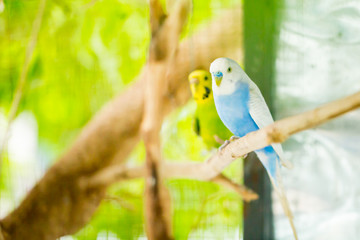 blue and white budgerigar parrot close up sits on tree branch in cage