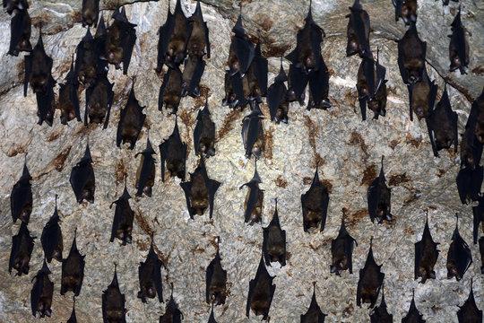 Roundleaf bats, Langkawi, Malaysia