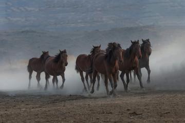 running for freedom, wild horses