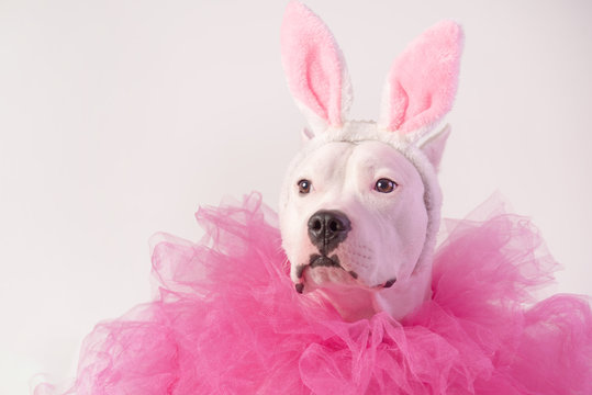 Portrait of white staffordshire dog with pink rabbit ears and pink collars on white background. Easter concept. Copy space