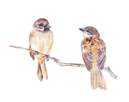 Two cute sparrows sit on a branch without leaves isolated on white background. Sparrow cleans feathers. Different angles of chirping little birds. Watercolor couple birds