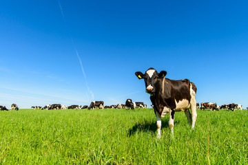 Poster Cow cows graze on a green field in sunny weather, layout with space for text