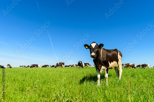 Wall mural cows graze on a green field in sunny weather, layout with space for text