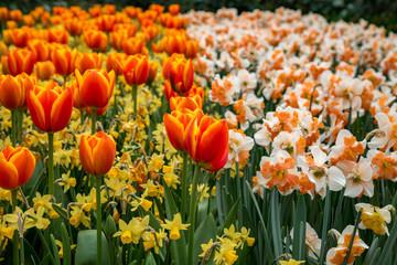 Blühendes Feld mit roten Tulpen, Narzissen und Osterglocken