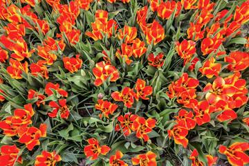 Textur Tulpen im Feld von oben