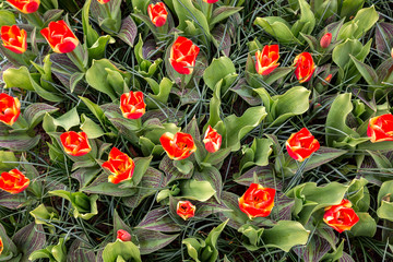 Ein Beet mit roten Tulpen als Blickfang