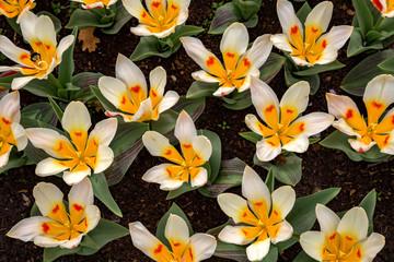 Seltene Tulpen als Blütenteppich in einem großen Beet
