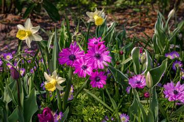 Pinkfarbene Blüten mit Narzissen