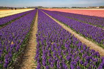 Blumenfeld in Holland mit weissen, lila  und rosa farbenen Hyazinthen