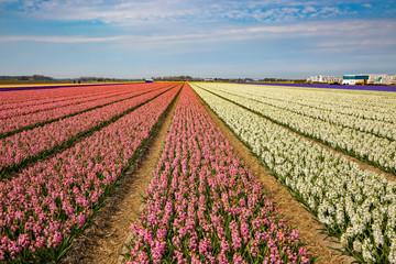 Blumenfeld in Holland mit weissen und rosa farbenen Hyazinthen