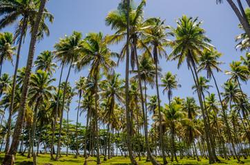 Coqueiral na Ilha de Boipeba, Bahia, Brasil. Fevereiro 2019.
