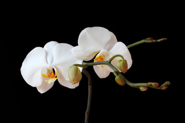 Close-up of white orchid (Orchidaceae) flower on the black background