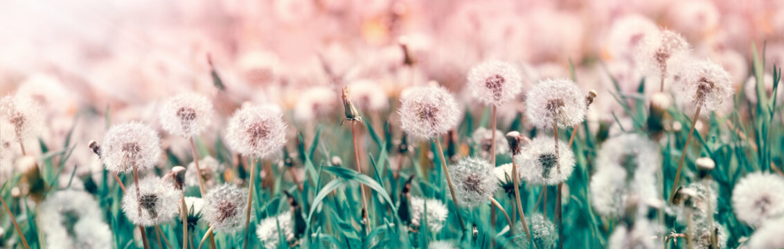 Dandelion seeds, selective and soft focus on dandelion seeds - beautiful nature in spring and summer