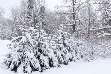 Christmas trees under snow. Winter landscape.