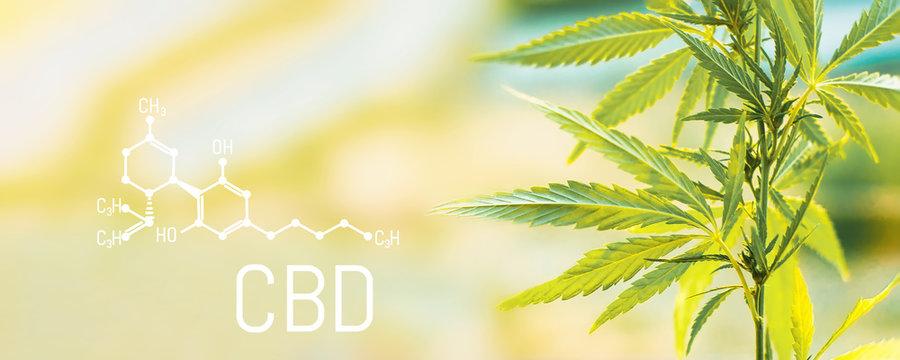 Organic cannabis leaf CBD. Concept of herbal alternative medicine, CBD oil, pharmaceptical industry. Ecological and biological hemp plant