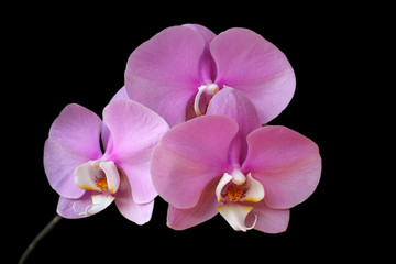 Close-up of pink-white orchid (Orchidaceae) flower on the black background