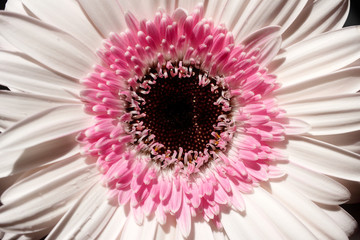 Portrait of soft rosa gerbera flower in the summer garden