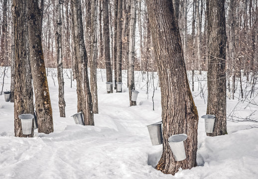 Maple syrup production in Canada