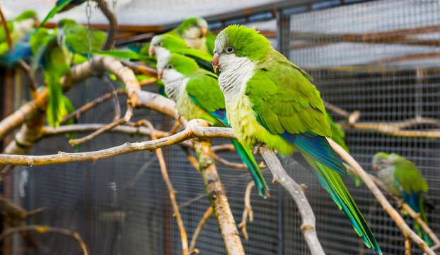 portrait of a monk parakeet with many parakeets on a branch in the background, popular pet in aviculture from Argentina