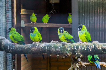 Aviculture, Aviary full with nanday parakeets, popular pets in aviculture, Tropical and colorful birds from America