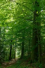 Wald aus Rotbuche, Schellerhau, Sachsen, Deutschland