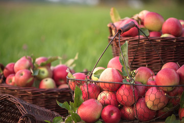 Apples in brown, wicker baskets in the orchard. Natural, autumn background with red apples.
