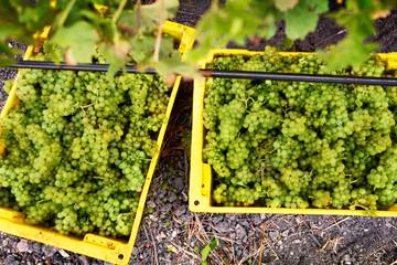 Yellow box in vineyard