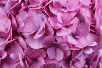 Close-up of pink hydrangea macrophylla (hortensia) flower