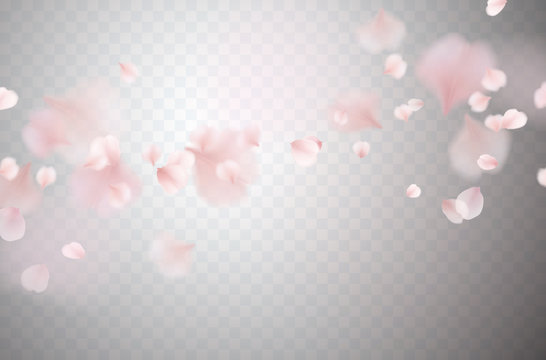 Petals of pink rose isolated on transparent background. Realistic flying sakura cherry flower elements for romantic wedding invitation design.