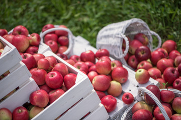 Natural background with red apples in white boxes and baskets in orchard. Picking apples in autumn. Garden.