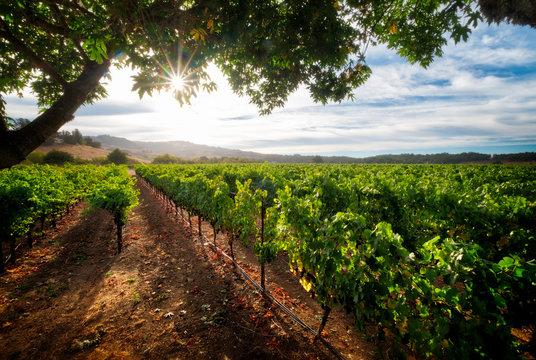 Pinot Noir Vineyard of Sonoma