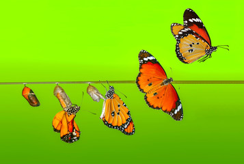 Poster Butterfly A farm for butterflies, pupae and cocoons are suspended. Concept transformation of Butterfly