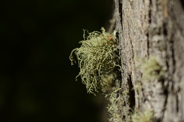 musgo verdoso que crece adosado a la corteza de otra planta, con el fondo desenfocado