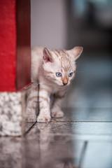 Snow Bengal Kitten exploring House