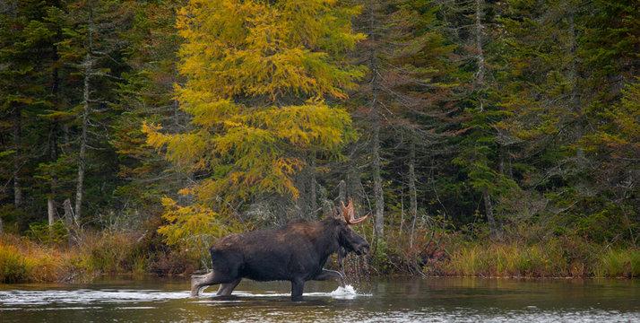 Moose wading in sandy pond, Baxter State Park Maine.