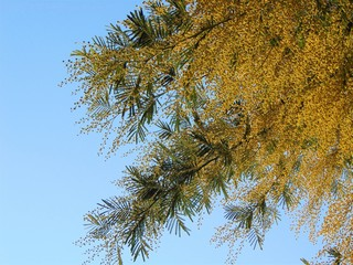 Tree branch mimosa in early spring during flowering.Mimosa flowers (Acacia dealbata) growing and bloom against the blue sky, natural background.