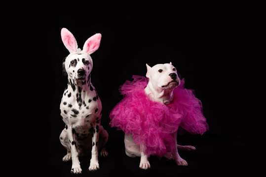 Two dogs in funny pink costums in front of black background. Dalmatian and staffordshire with rabbit ears and pink collars. Party dance concept
