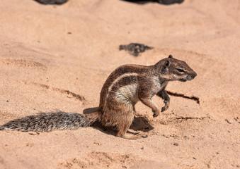 Ground Squirrel Atlantoxerus Getulus