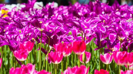 Poster Rose チューリップの花畑