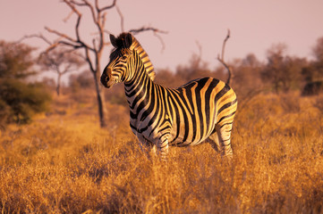 Zebra standing in grassy field during sunset