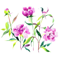 Watercolor botanical drawing with pink peonies. flowers, buds and leaves isolated on white.
