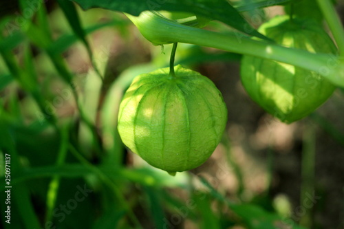 Tomatillo or Physalis philadelphica or Physalis ixocarpa or
