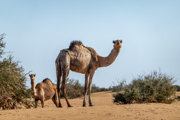 Camel in the desert of Sudan eating leaves of an acacia bush, sahara
