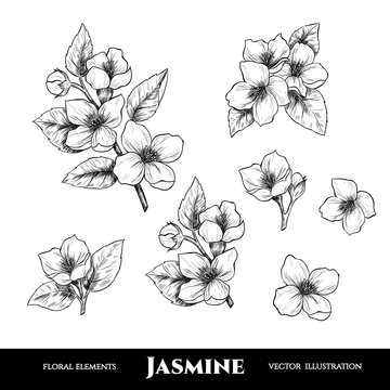 Vector jasmine flowers. Set of floral elements. Vintage style