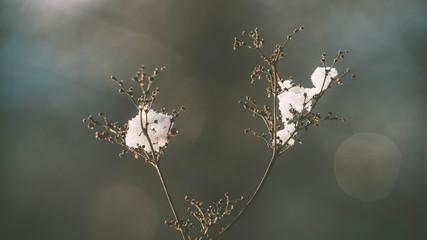 verblühtes Mädesüß mit Schnee